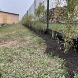 Živý plot z bambusu Fargesia Rufa