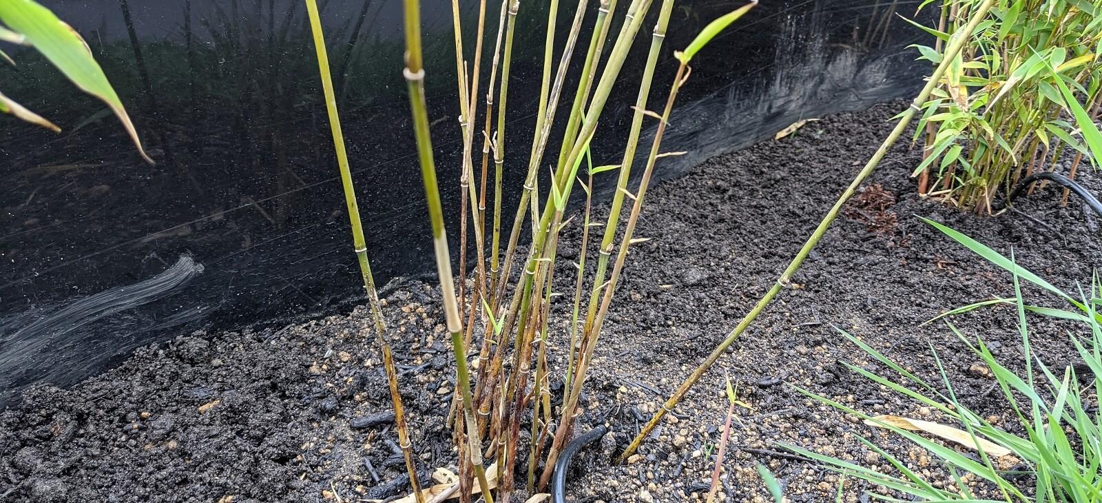 Nové výhonky bambusů