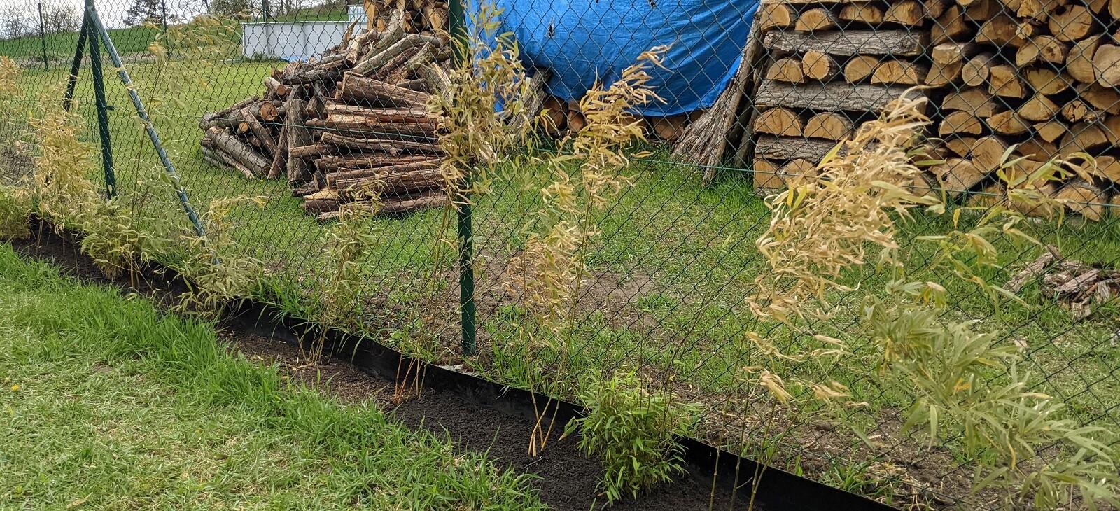 Nové malé bambusy mezi původními, kterým se moc nedaří